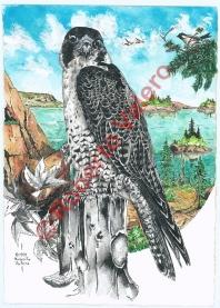 (Falco Peregrinus anatum)