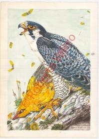 (Falco peregrinus calidus and Oriolus oriolus)