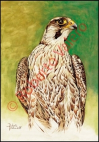 (Falco peregrinus calidus) Inmature
