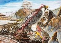 falco peregrinus cassini (Fase palida)