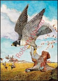 falco peregrinus tundrius,cazando Perdiz