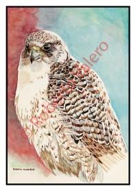 (Falco rusticolus)