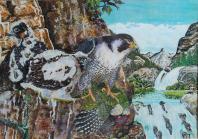 f.peregrinus alimentando a los pollos