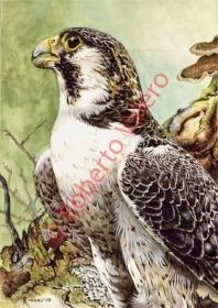 (F.peregrinus cassini)-(Fase palida,Adulto)