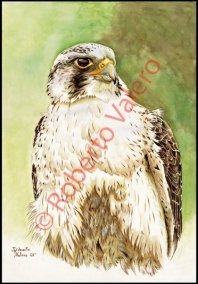 (F.peregrinus cassini)-(Fase palida,Inmature)