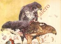 Gavilan Negro (Accipiter melanoleucus)