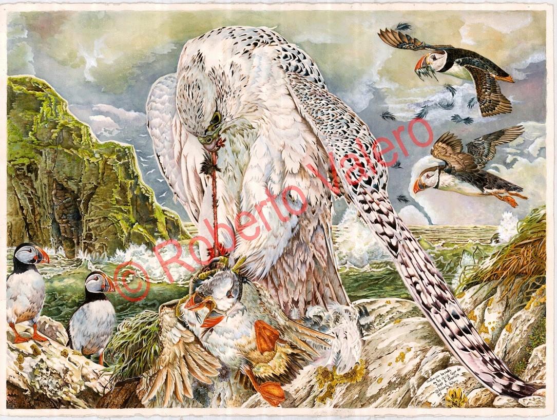 (Falco rusticolus Devouring a Puffin)